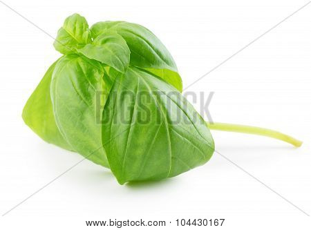 Basil Leaves Isolated On The White Background