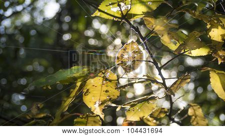 Fall Yellow Wild Cherry Leaves with Star Sunlight.