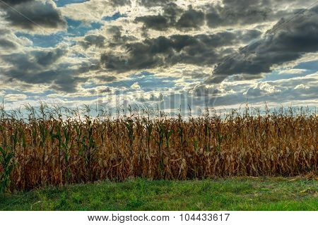 Field with maize close-up against dramatic cloudy sky