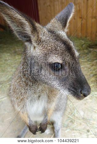 Small Kangaroo