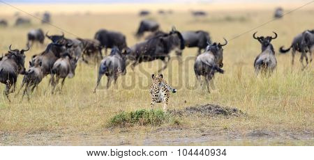 Cheetah Pursuit A Wildebeest