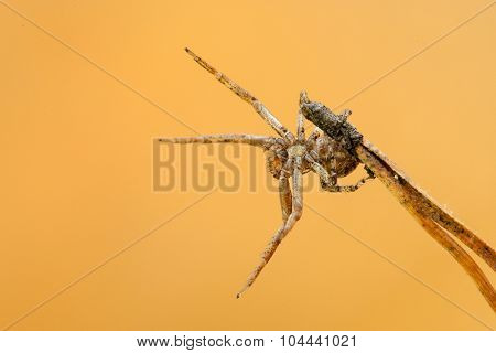 Little Spider In An Ambush