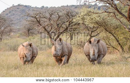 Three White Rhinos In Grassland