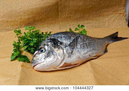 Large Fish Sea Bream Orata Gutted