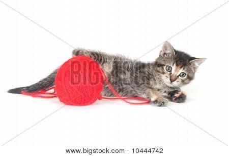 Tabby Kitten And Yarn