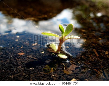 Seedling in Puddle