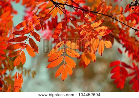 Orange Mountain Ash Tree Branches In Sunlight - Autumn Background