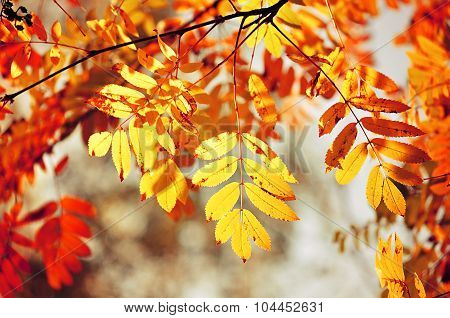 Autumn Background - Colourful Mountain Ash Tree Branches In Sunlight -