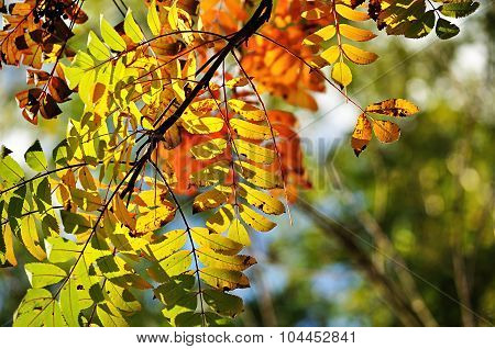 Autumn Landscape - Colorific Mountain Ash Tree Branches In Sunlight