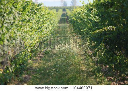 Grape vines in Canada