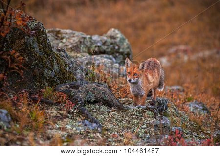 Red fox in autumn taiga