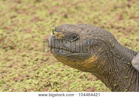 Galapagos Tortoise In A Verdant Pond