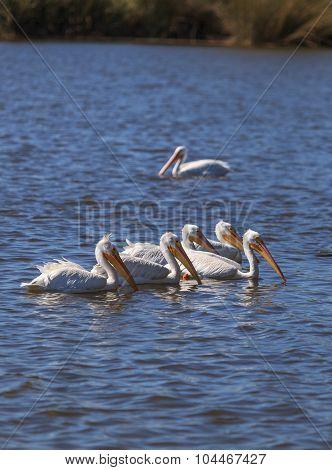 American white pelican, Pelecanus erythrorhynchos, flock