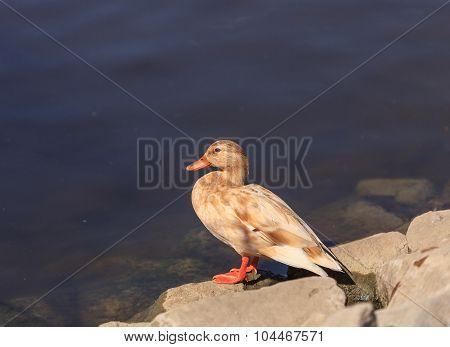 Wild blond Mallard duck, Anas platyrhynchos
