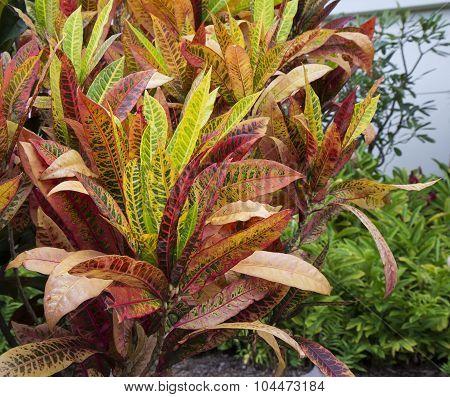 Croton Plant (codiaeum Variegatum)