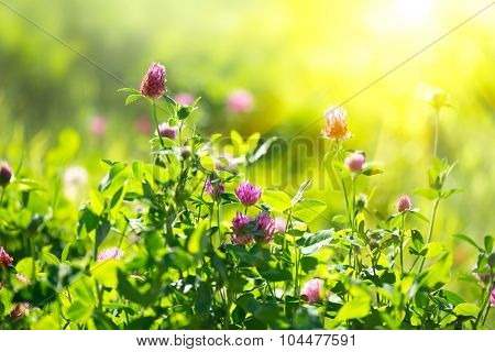 Meadow. Clover flowers growing on spring field. Blooming Bright wild flowers closeup. Sun flare, nature