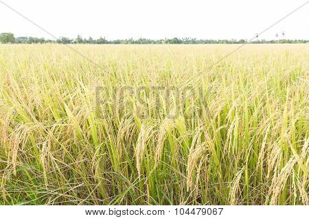 Close Up Rice Fields