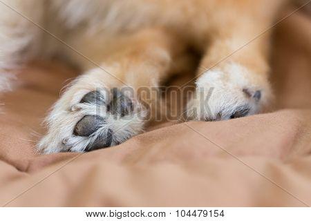 Close Up Image, Detail Of Foot Pomeranian Dog
