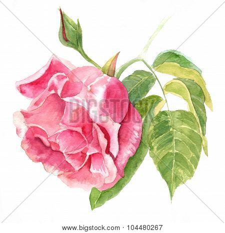 Watercolor Vintage Rose Drawing On White Background