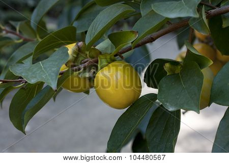 Persimmon Fruit Hanging On A Tree