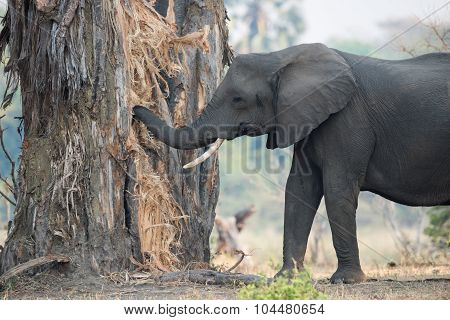 A Female African Elephant With One Tusk Eating (and Destroying) A Baobab Tree