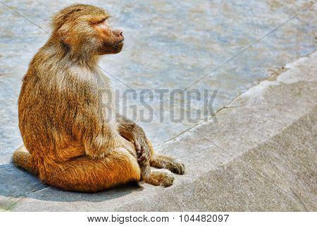 Hamadryas Baboon Monkey.