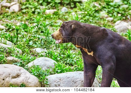 Malayan Sun Bear(smallest Bear).