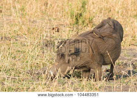 Common Warthog (phacochoerus Africanus) Kneeling To Eat While Being Cleaned By Four Red-billed Oxpec