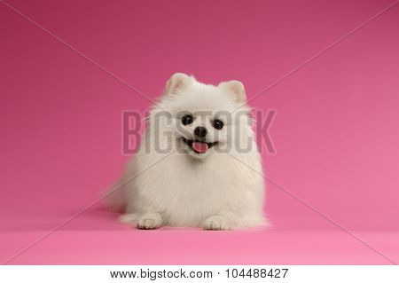 Closeup Portrait Of White Spitz Dog On Colored Background