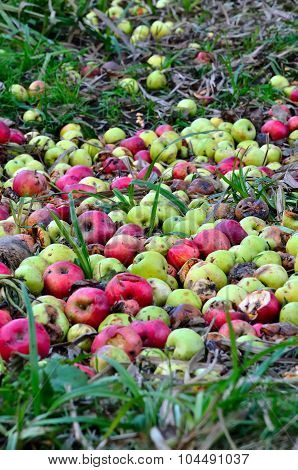 Decayed apples.