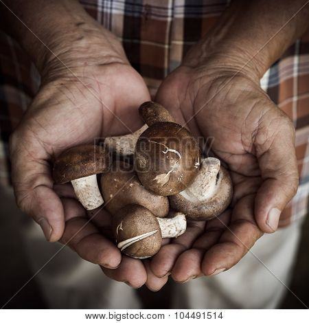 Shiitake Mushroom In Farmer's Hands, Old Man Holding Mushroom