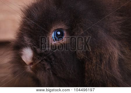 Close up picture of a cute lion head rabbit bunny looking at the camera.