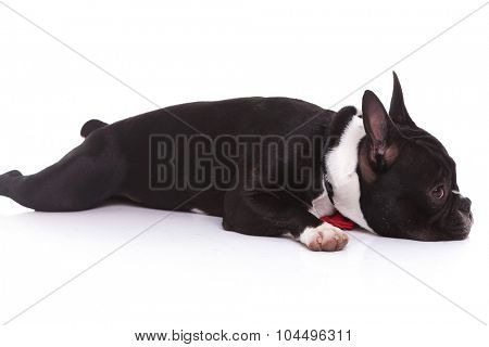 side view of a tired french bulldog puppy lying down on white background