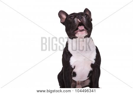 amazed french bulldog puppy dog barking at something up , isolated on white background