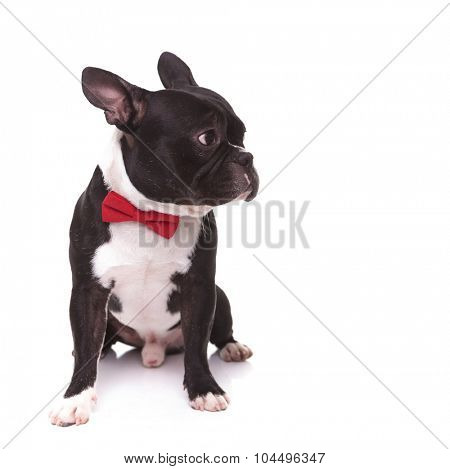 seated cute french bulldog puppy dog looking to its side, it is wearing a bowtie like a gentleman