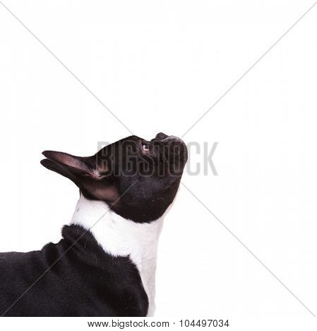 closeup of a french bulldog puppy looking up on white background