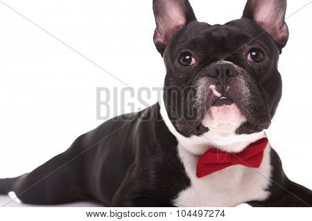 cute french bulldog puppy dog lying down and looking up on white background, wearing red bow tie