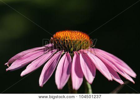 Echinacea purpurea or purple coneflower in garden
