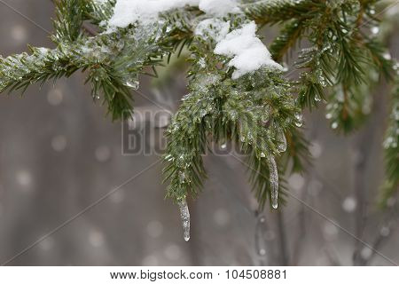 Spruce Branch Covered With Ice
