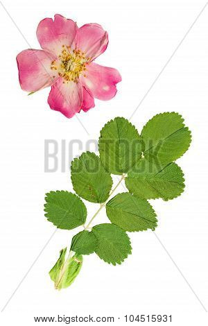 Pressed And Dried A Delicate Transparent Flower And Bright Green Leaf Rose Hips.