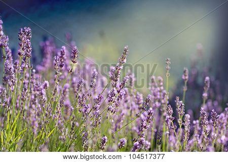 Lavender flower lit by sunlight