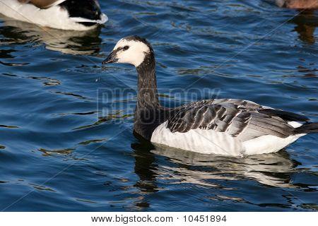 Branta Leucopsis, Barnacle Goose
