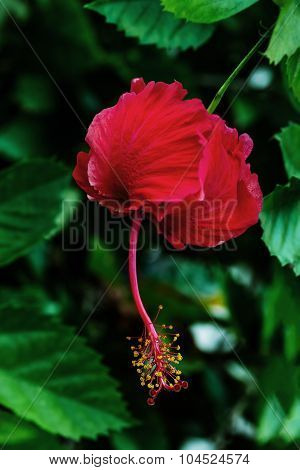 Single red scarlet hibiscus flower in the Caribbean Tobago