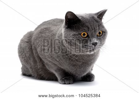 Cat With Yellow Eyes Lying On White Background