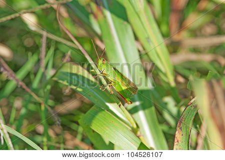 Grasshopper On A Plant