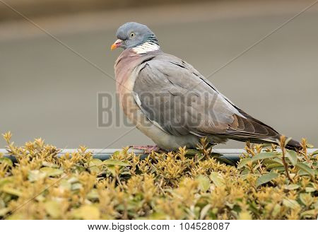 Big Gray Dove With Orange Beak
