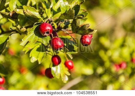 Ripe Red Fruit Of Hawthorn