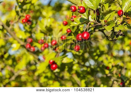 Red Fruits Of Hawthorn