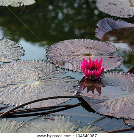 Single pink exotic water lily in tropical pond Tobago square