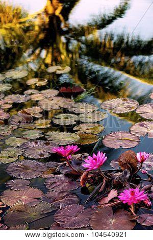 Beautiful pink exotic water lilies in tropical pond Tobago